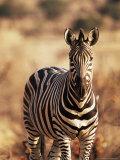 Burchell's Zebra (Equus Burchelli), Mashatu Game Reserve, Botswana, Africa
