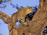 Male Leopard, Panthera Pardus, in a Tree, in Captivity, Namibia, Africa