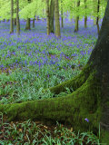 Bluebells in Beech Woodland, Buckinghamshire, England, UK, Europe