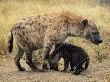 Spotted Hyena, Crocuta Crocuta, Cub Greeting Adult, Kruger National Park, South Africa, Africa