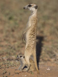 Meerka (Suricata Suricatta) with Young, Kgalagadi Transfrontier Park, South Africa, Africa