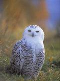 Snowy Owl, Alaska, USA