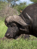 Cape Buffalo (Syncerus Caffer), with Redbilled Oxpecker, Kruger National Park, South Africa, Africa