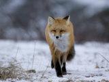 Red Fox, Vulpes Vulpes, Churchill, Manitoba, Canada, North America