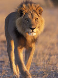 Lion, (Panthera Leo), Savuti, Chobe National Park, Botswana