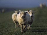 Domestic Sheep, Westerhever, Schleswig-Holstein, Germany