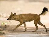 Dhole/Wild Dog, (Cuon Alpinus), Bandhavgarh N.P., Madhya Pradesh, India
