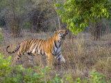 Bengal Tiger, (Panthera Tigris), Bandhavgarh, Madhya Pradesh, India