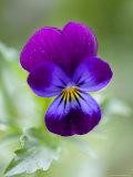 Wild Pansy, Viola Tricolor, Bielefeld, Germany