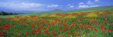 Panoramic View of Field of Poppies and Wild Flowers Near Montchiello, Tuscany, Italy, Europe