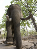 Indian Elephant (Elephus Maximus), Bandhavgarh National Park, Madhya Pradesh State, India, Asia