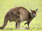 Kangaroo (Macropus Fuliginosus Fuliginosus), Kangaroo Island, South Australia, Australia, Pacific
