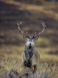 Red Deer Stag in Autumn, Glen Strathfarrar, Inverness-Shire, Highland Region, Scotland