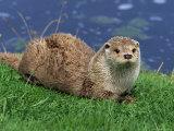 Otter (Lutra Lutra), Otter Trust North Pennine Reserve, Barnard Castle, County Durham, England