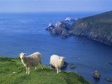 Sheep, Hermaness Nature Reserve, Hermaness, Scotland, United Kingdom