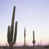 Cactus Plants after Sunset, Baja, Mexico, North America