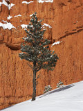 Pine Tree in Front of Red-Rock Face with Snow on the Ground, Dixie National Forest, North America