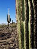 Saguaro Cactus (Carnegiea Gigantea), Saguaro National Park, Arizona