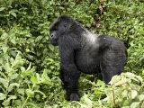 Silverback Mountain Gorilla Standing in Profile, Shinda Group, Rwanda, Africa