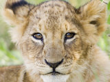 Head on Shot of Lion Cub Looking at Camera, Masai Mara Game Reserve, Kenya, East Africa, Africa