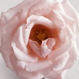 Powder Pink Rose III