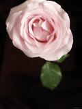 Simple Rose I
