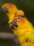 Closeup of Five Captive Sun Parakeets