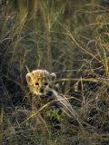 Cheetah Cub Less Than 3 Months Old Hides in the Tall Savannah Grass