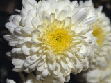 Closeup of a Chrysanthemum Flower and Petals, North Carlton, Australia