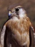 Australian Kestrel Head, Sharp Beak and Eye