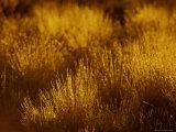 At Dawn Elegant Backlit Native Grasses Sprout from Desert Sand Dunes, Australia