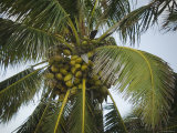 Close-Up of Coconuts on Coconut Palm Tree, Ambergris Caye, Belize