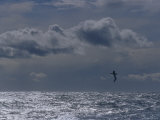 Albatross Silhouette Gliding over the Ocean against Storm Clouds, Australia