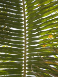 Close-Up of Palm Leave or Frond with Sky Behind, Ambergris Caye, Belize