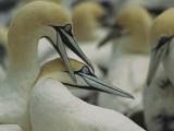 Colony of Cape or African Gannets Nesting on Malgas Island, South Africa