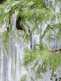 Close-Up of Ice Covered Tree Branch, California
