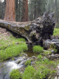Creek with Giant Sequoia in Round Meadow, California