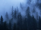 Fog Drifts Through Pine Trees above the Salmon River