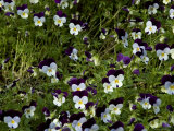 Close-Up of a Field of Pansies, Asolo, Italy