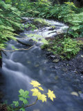 Fall Color Devil's Club Leaves and Stream on Winner Creek Trail, Alaska