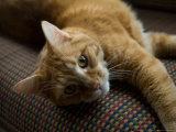 Domestic Cat Lies on a Couch in a Home in Lincoln, Nebraska