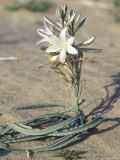 Desert Lily Blooming in the Sand, California