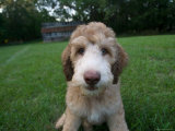 Goldendoodle Puppy Sits in Freshly Mowed Grass