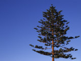 Norfolk Pine Tree, Ventura, California