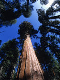 Looking Up at a Giant Sequoia Tree in the Sierras, California