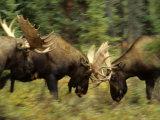 Rutting Bull Moose Fighting, Alaska