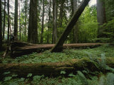 Ferns and Moss-Covered Fallen Douglas Firs on a Forest Floor