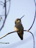 Costa's Hummingbird Perched at Ellwood Bluffs, California