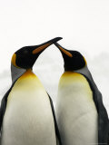 Courting King Penguins Touch Bills