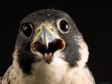Portrait of a Peregrine Falcon, Lincoln, Nebraska